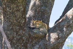 African predators. Leopard. Serengeti. African predators. Leopard on the tree. Serengeti, Tanzania Royalty Free Stock Photo