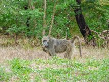 African primate Baboon, Botswana. African primate Baboon, monkey on natural habitat, tropical landscape, savanna, Botswana royalty free stock images
