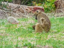 African primate Baboon monkey, sad on cemetery stock photo