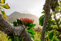African Protea backlit in a mountain range in cape town. Sunset behind a beautiful great protea, south africas national flower with a mountain range in the stock photography