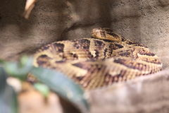 African puff adder Royalty Free Stock Photos