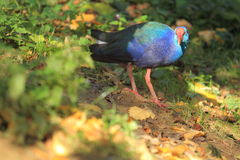 African purple swamphen Royalty Free Stock Photography