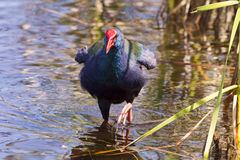 African purple swamphen Stock Images