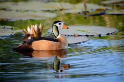 An African Pygmie Goose on the Chobe River, Botswana Stock Image