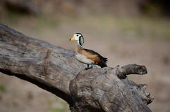 An African Pygmie Goose Perching on the Chobe River, Botswana Royalty Free Stock Image