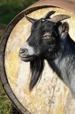African Pygmy Billy Goat. Head portrait of an African Pygmy Billy Goat Royalty Free Stock Images