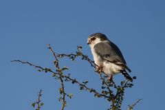 African pygmy falcon, Namibia Stock Photography