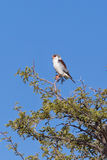 African Pygmy Falcon perched in an Acacia tree Royalty Free Stock Photos