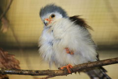 African pygmy-falcon. Sitting on the branch royalty free stock photo