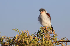 African pygmy falcon. Tiny african pygmy falcon sits at bush top in morning sunshine Stock Photography