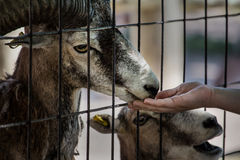 African pygmy goat Stock Photography