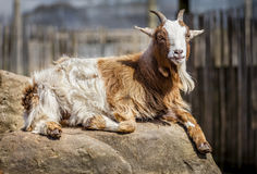 African Pygmy goat. African pygmy goat relaxed lying down on a rock. Close up portrait of miniature domestic goat looking toward the camera Royalty Free Stock Photos