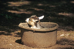 African Pygmy Goat Stock Image