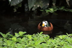 African pygmy goose Stock Photo