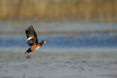 African Pygmy Goose Royalty Free Stock Photos