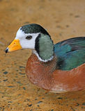 African Pygmy Goose Stock Photos
