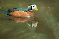 African pygmy goose Royalty Free Stock Photo