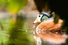 African Pygmy Goose (Nettapus auritus) Stock Photos