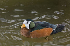 African Pygmy Goose, Nettapus auritus close up Stock Photography