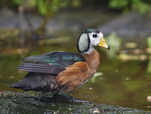 African Pygmy Goose (Nettapus auritus) Stock Photo