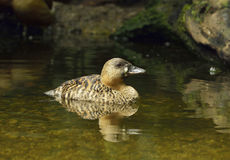African Pygmy-goose Stock Photos