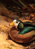 African pygmy goose Nettapus auritus. Is found in Central to southern Africa and Madagascar Stock Photography