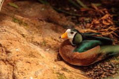African pygmy goose Nettapus auritus. Is found in Central to southern Africa and Madagascar Royalty Free Stock Image