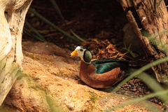 African pygmy goose Nettapus auritus. Is found in Central to southern Africa and Madagascar Stock Photo