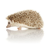 African Pygmy Hedgehog. On a reflective surface Royalty Free Stock Images