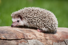 African pygmy hedgehog Stock Images
