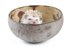 African pygmy hedgehog Royalty Free Stock Images