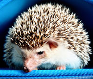 African pygmy hedgehog Royalty Free Stock Photography