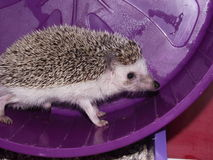 African pygmy hedgehog Stock Photography
