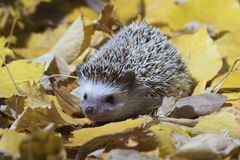 African pygmy hedgehog in the autumn yellow leafage Stock Photography