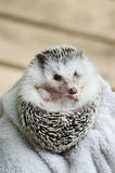 African pygmy hedgehog Royalty Free Stock Photo