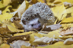 African pygmy hedgehog, Erinaceus albiventris Stock Photo