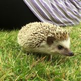 African Pygmy Hedgehog In Grass royalty free stock photos