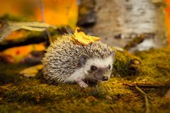 African pygmy hedgehog on moss Stock Image