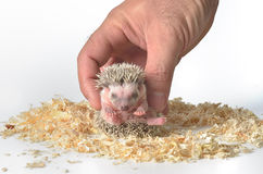 African pygmy hedgehog in hand Royalty Free Stock Images
