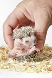 African pygmy hedgehog in hand Royalty Free Stock Photo