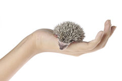 African pygmy hedgehog in hand Royalty Free Stock Photography