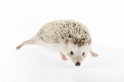 African pygmy hedgehog Royalty Free Stock Photos