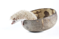 African pygmy hedgehog Stock Photo