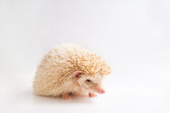 African pygmy hedgehog Stock Photos