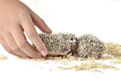 African pygmy hedgehog and one hand Stock Image