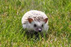 African Pygmy Hedgehog Royalty Free Stock Image