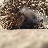 African Pygmy Hedgehog Sleeping stock photography