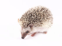 African Pygmy Hedgehogs Atelerix albiventris Royalty Free Stock Photo