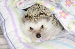 African pygmy hedghog Stock Images