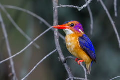 African Pygmy Kingfisher - Ceyx pictus Royalty Free Stock Photography
